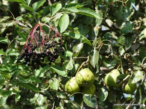 Elder and pears